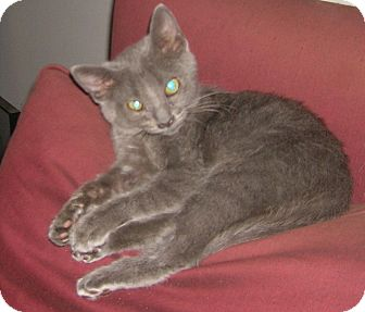 Domestic Shorthair Kitten for adoption in Nashville, Tennessee - Donna