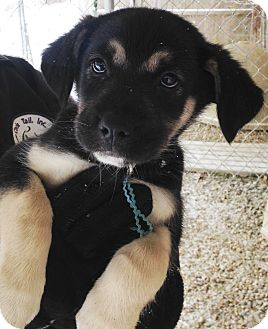 German Shepherd Dog Mix Puppy for adoption in Pleasant Plain, Ohio - Clipper