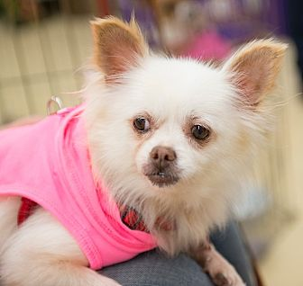 Pomeranian/Chihuahua Mix Dog for adoption in Grass Valley, California - Sweet Pea