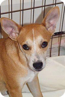 Fox Terrier (Smooth) Mix Puppy for adoption in Okeechobee, Florida - Foxxy