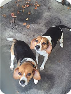 Beagle Mix Dog for adoption in Barnwell, South Carolina - Tissa