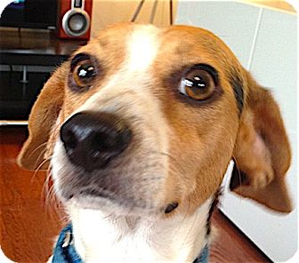 Beagle/Terrier (Unknown Type, Small) Mix Dog for adoption in Houston, Texas - Levi
