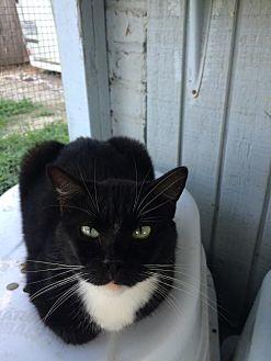 American Bobtail Cat for adoption in Thibodaux, Louisiana - Socks FE2-8588