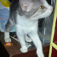 Domestic Shorthair Cat for adoption in San Diego/Imperial Beach, California - June of Imperial