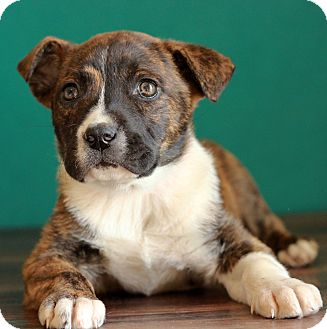 Pit Bull Terrier Mix Puppy for adoption in Waldorf, Maryland - Hope