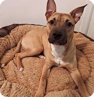 Pit Bull Terrier Dog for adoption in St. Paul, Minnesota - Elton