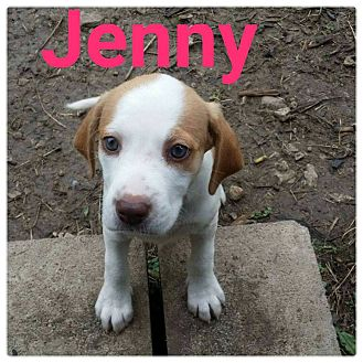 Hound (Unknown Type)/Labrador Retriever Mix Puppy for adoption in Huntington, Indiana - Jenny