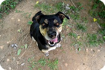 Rottweiler Mix Dog for adoption in Broadway, New Jersey - Sophie