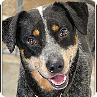 Blue Heeler Mix Dog for adoption in Dunkirk, New York - Buddy