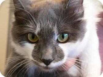 Domestic Mediumhair Cat for adoption in Walnut Creek, California - Gracie
