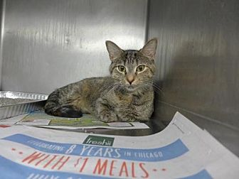 American Shorthair Cat for adoption in Lyons, Illinois - Leia