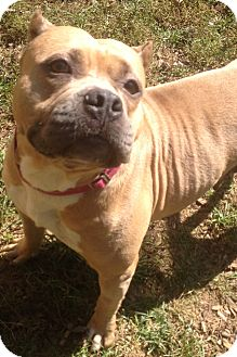 American Pit Bull Terrier Mix Dog for adoption in South Park, Pennsylvania - Tink