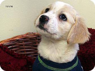 Australian Shepherd/Airedale Terrier Mix Puppy for adoption in Republic, Washington - Martini