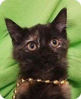 Domestic Mediumhair Kitten for adoption in Colfax, Iowa - Taylor