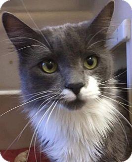 Domestic Mediumhair Cat for adoption in Huachuca City, Arizona - Magnus