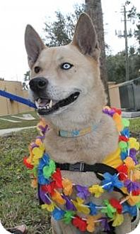 Husky Mix Dog for adoption in New Smyrna Beach, Florida - Charger