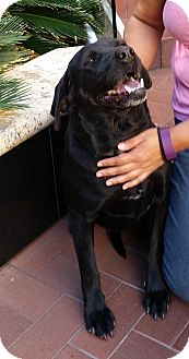 Labrador Retriever Dog for adoption in Phoenix, Arizona - Noelle