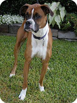 Boxer Dog for adoption in Houston, Texas - SHEILA