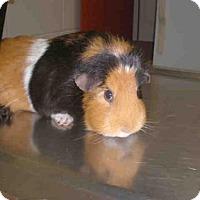 Adopt A Pet :: SCARLET - Peoria, IL