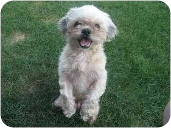 Terrier (Unknown Type, Small)/Shih Tzu Mix Dog for adoption in Beavercreek, Ohio - BUSTER