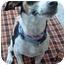 Photo 3 - Rat Terrier Mix Dog for adoption in Vista, California - Victoria