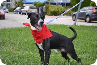 Border Collie/Border Terrier Mix Dog for adoption in hollywood, Florida - hector