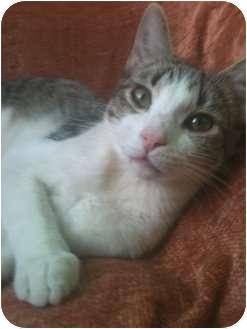 American Shorthair Cat for adoption in Irvine, California - FABIAN