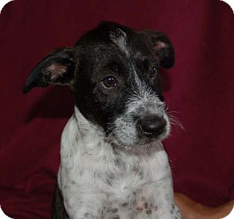 German Shorthaired Pointer/Terrier (Unknown Type, Medium) Mix Puppy for adoption in Chula Vista, California - Barney