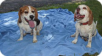Beagle Dog for adoption in Seymour, Connecticut - BRAHMA AND ODIN