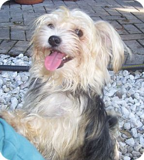 Maltese/Yorkie, Yorkshire Terrier Mix Dog for adoption in CAPE CORAL, Florida - Beauty