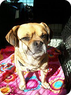 Pug/Beagle Mix Dog for adoption in Poway, California - Roscoe