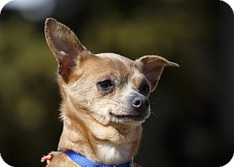 Chihuahua Dog for adoption in Ile-Perrot, Quebec - Kewpie
