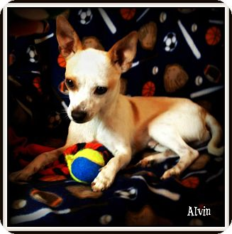 Chihuahua Mix Dog for adoption in Pascagoula, Mississippi - Alvin