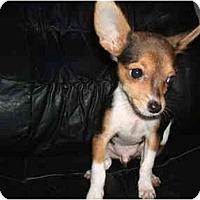 Adopt A Pet :: Rico(teacup) - SCOTTSDALE, AZ
