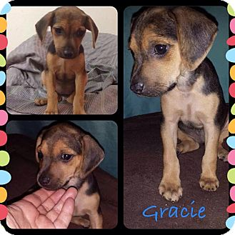Dachshund/Labrador Retriever Mix Puppy for adoption in Fort Lauderdale, Florida - Gracie