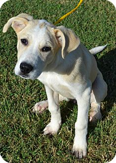 Labrador Retriever/Great Pyrenees Mix Puppy for adoption in Haggerstown, Maryland - Autumn