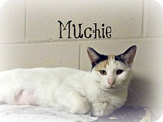 Domestic Shorthair Cat for adoption in Defiance, Ohio - Muchie