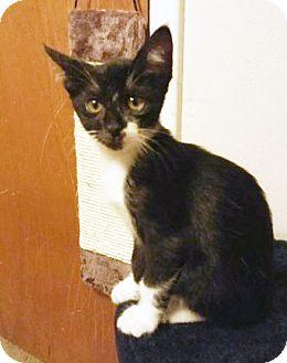 Domestic Shorthair Kitten for adoption in Arlington/Ft Worth, Texas - Lord Gibbles