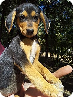Terrier (Unknown Type, Small)/Beagle Mix Puppy for adoption in Kittery, Maine - Hugh