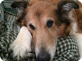 Collie Dog for adoption in Powell, Ohio - Cali