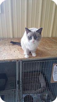 Snowshoe Cat for adoption in Baudette, Minnesota - TinkerBell