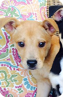 German Shepherd Dog Mix Puppy for adoption in Glastonbury, Connecticut - Zack