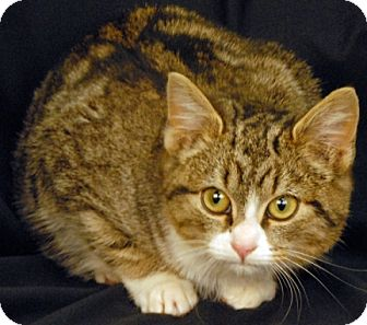 Domestic Shorthair Kitten for adoption in Newland, North Carolina - Hairmeowne