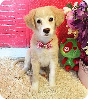 Labrador Retriever Mix Puppy for adoption in Castro Valley, California - Sheena