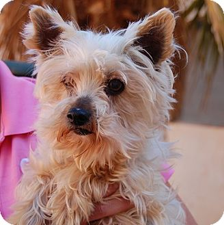 Yorkie, Yorkshire Terrier Mix Dog for adoption in Las Vegas, Nevada - Angel