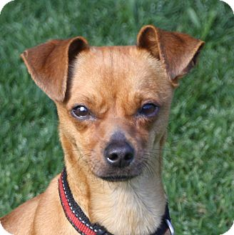Chihuahua/Terrier (Unknown Type, Small) Mix Dog for adoption in Edmonton, Alberta - Gabby