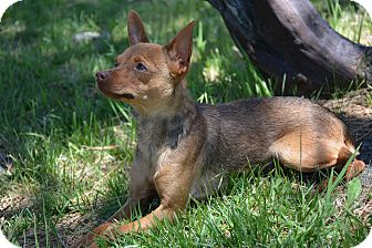 Chihuahua Mix Dog for adoption in Mountain Center, California - Sprite
