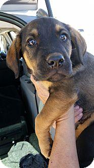 German Shepherd Dog/Labrador Retriever Mix Puppy for adoption in Tucson, Arizona - Kosmo