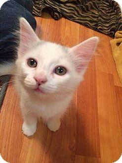 Domestic Shorthair Kitten for adoption in THORNHILL, Ontario - Galaxy