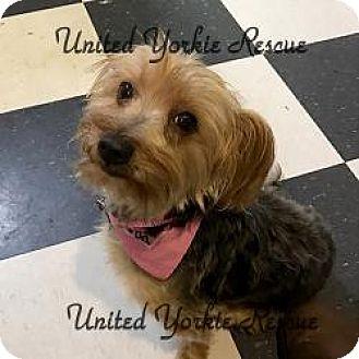 Yorkie, Yorkshire Terrier Dog for adoption in Martinsburg, West Virginia - Paris